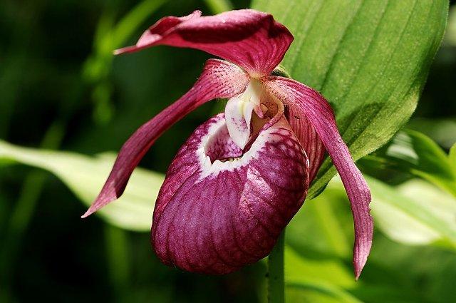 Цветок венерин башмачок с