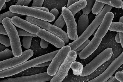 Бактерии E. coli (Кишечная палочка)