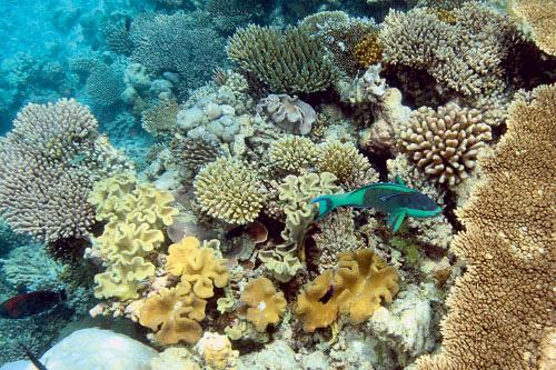 Верхний участок склона кораллового рифа. На переднем плане рыба-попугай (Scarus frenatus). Рыбы-попугаи тоже выедают водоросли на рифе. В последнее время рыбы этой группы массово используются в пищу во многих странах Азии.