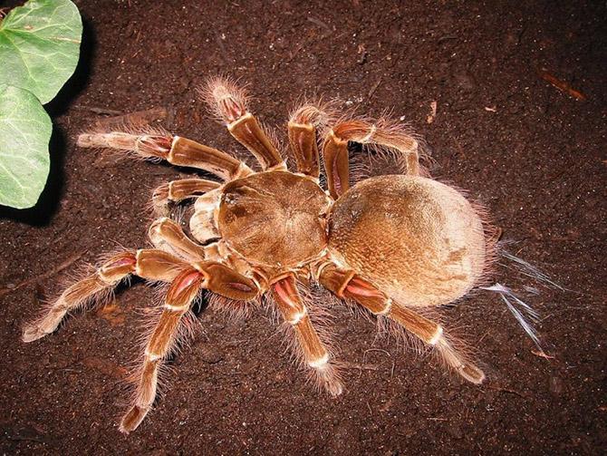Самый большой паук в мире. Птицеед