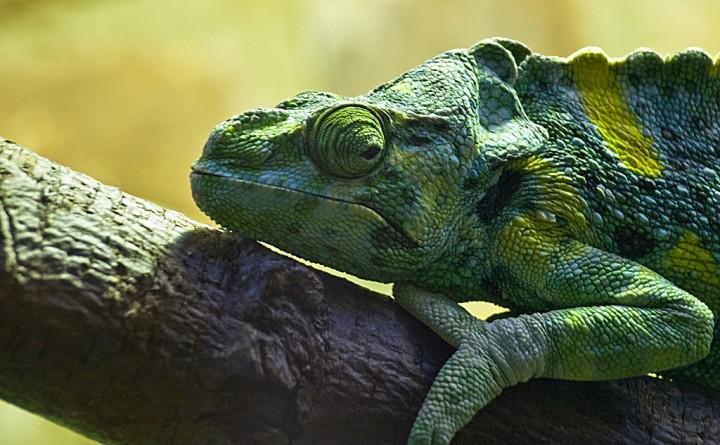 xameleon 18 Интересные факты о хамелеонах