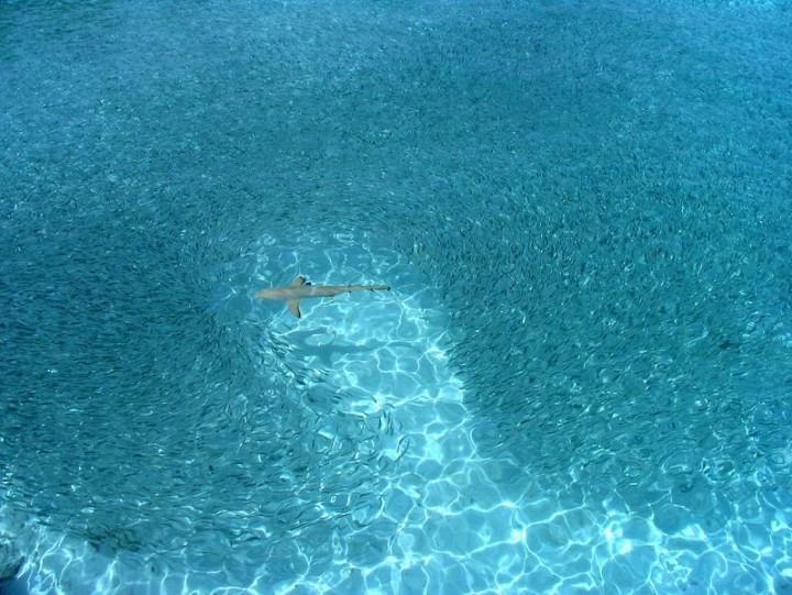 1421 15 удивительных косяков рыбы