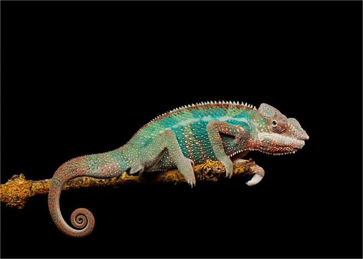 xameleon 1 Интересные факты о хамелеонах