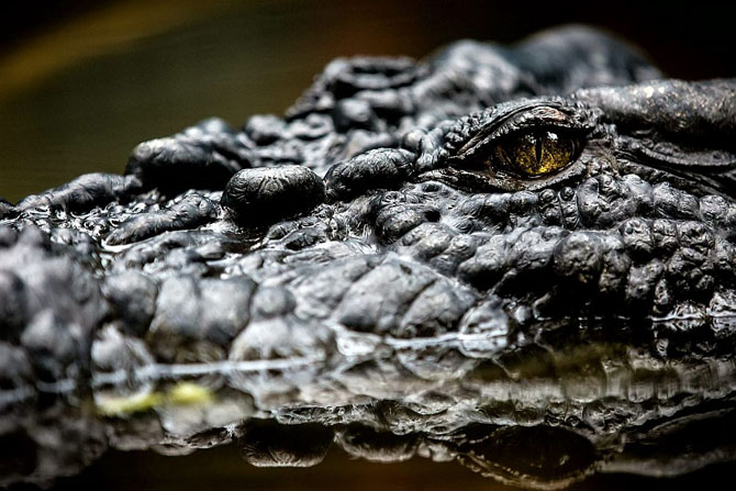 Кассиус Клей — самый большой в мире крокодил