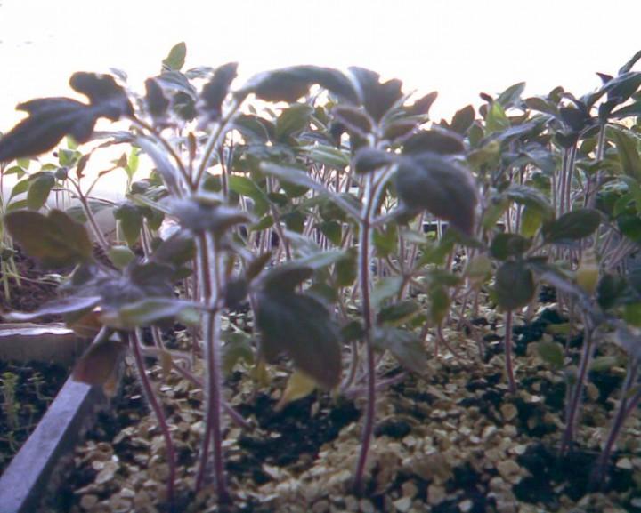 рассада томатов стала фиолетового цвета как подкормить
