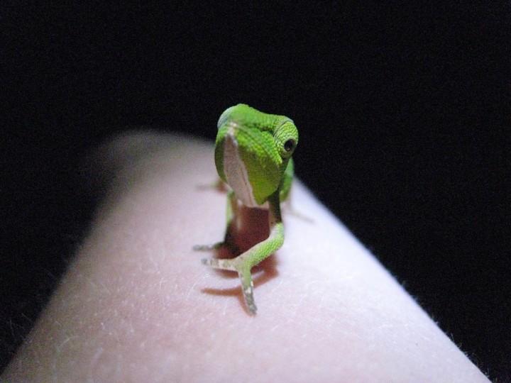 xameleon 10 Интересные факты о хамелеонах