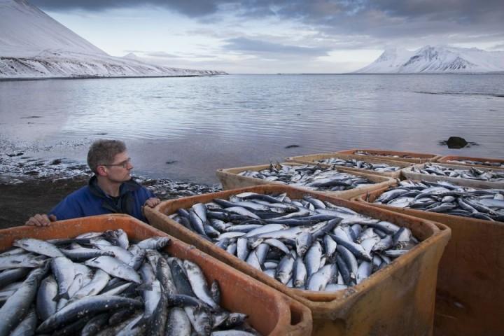 Clupea03 Рыбный апокалипсис в Исландии – погибло 30.000 тонн сельди