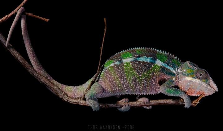 xameleon 20 Интересные факты о хамелеонах