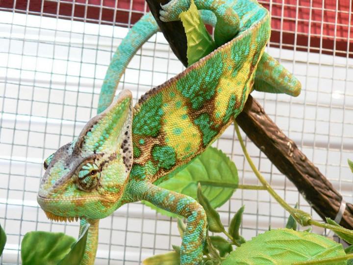 xameleon 8 Интересные факты о хамелеонах