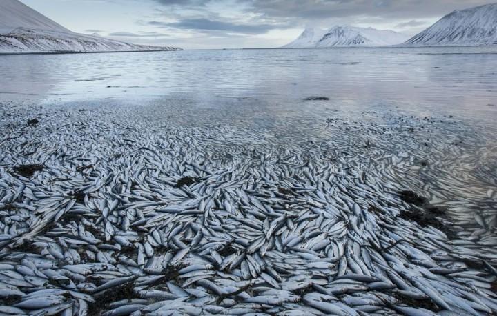 Clupea04 Рыбный апокалипсис в Исландии – погибло 30.000 тонн сельди