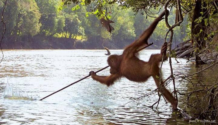 Орангутаны