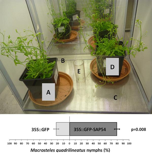 Постановка эксперимента с выбором растений цикадками