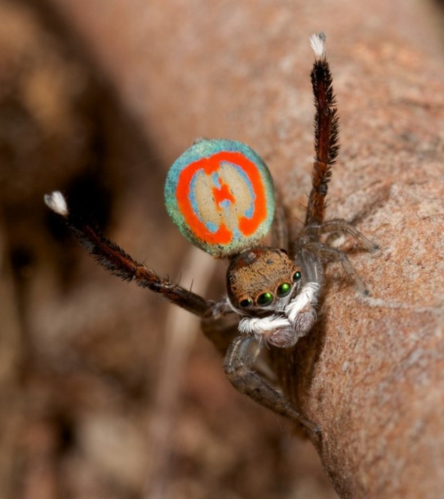 peacockspider05 712x800 Экзотический павлиний паук