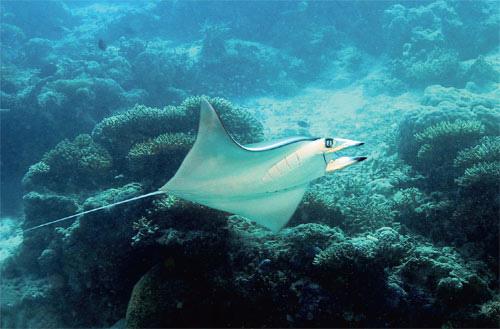 Мобула (Mobula thurstoni), плывущая вдоль склона кораллового рифа. Часто встречается вблизи рифов, где питается зоопланктоном и мелкими стайными рыбами. Входит в число промысловых рыб.