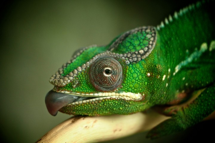 xameleon 11 Интересные факты о хамелеонах