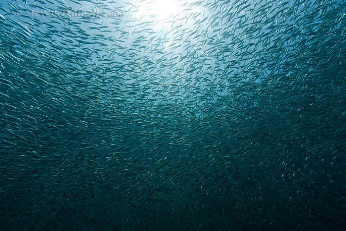829 15 удивительных косяков рыбы