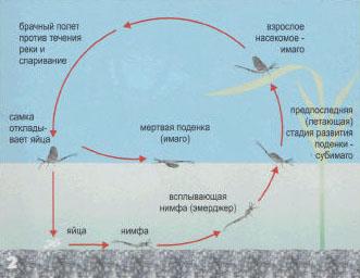 Жизненный цикл поденки