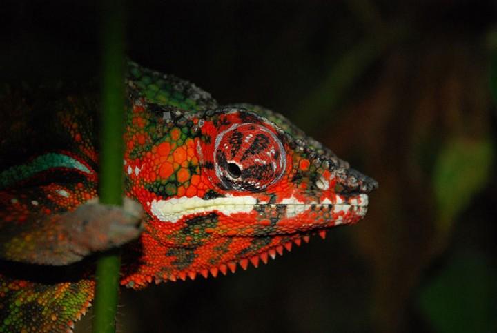 xameleon 16 Интересные факты о хамелеонах