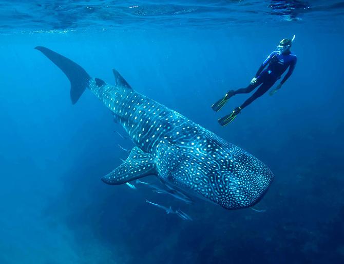 Самая большая рыба в мире. Китовая акула