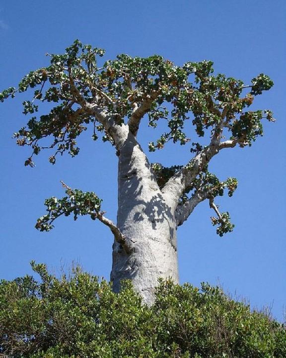 Socotra21 Удивительный остров Сокотра
