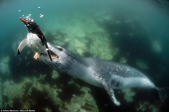 intojaws04 Последние секунды жизни пингвина