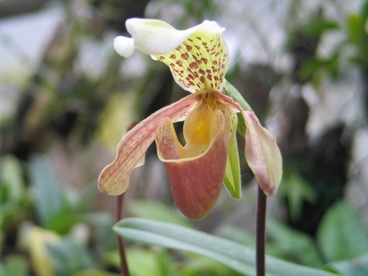 Венерин башмачок- описание растения, особенности выращивания и ухода