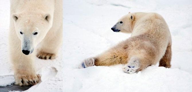 Факты о белых медведях, которые должны знать все