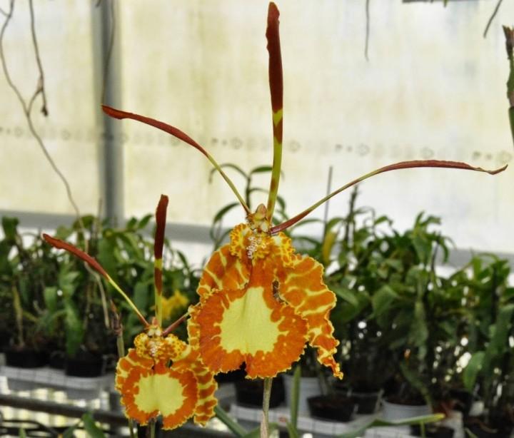 terraoko butterfly orchid 2014 14 Самая красивая орхидея бабочка