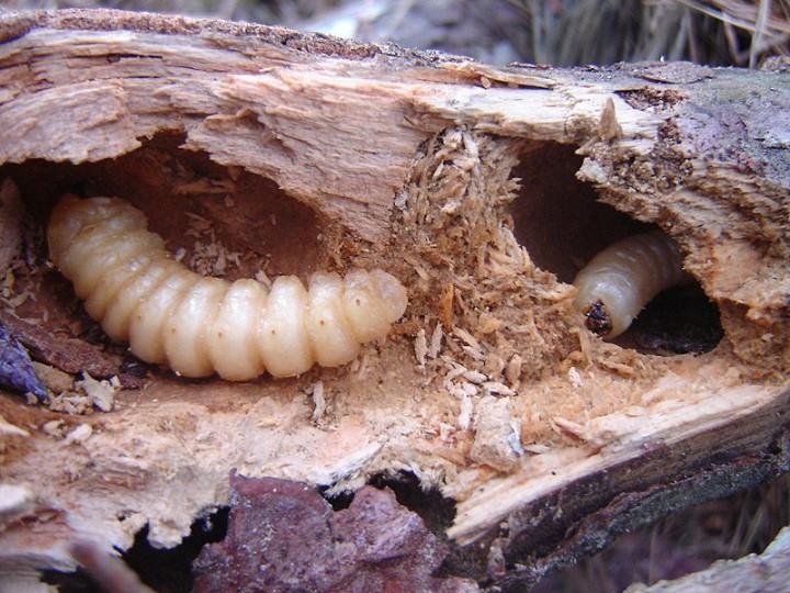 edible06 Фотогид по съедобным насекомым